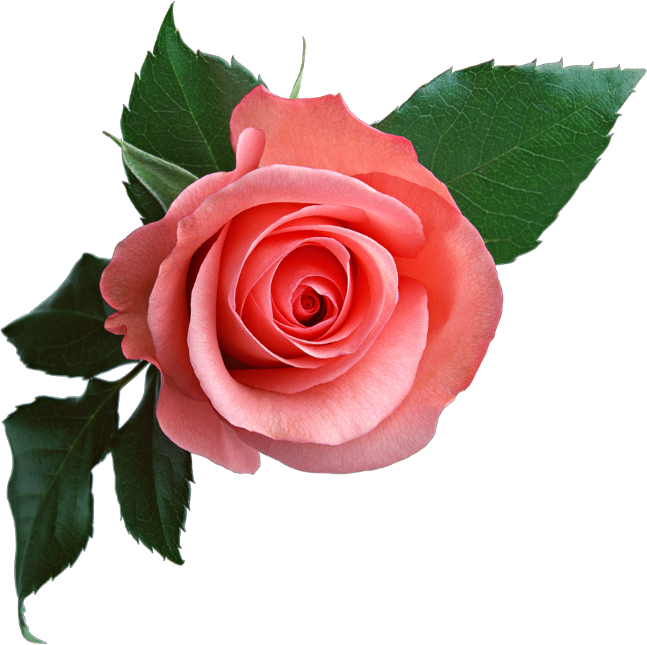 clipart royalty free library Pink png . Rose flower clipart