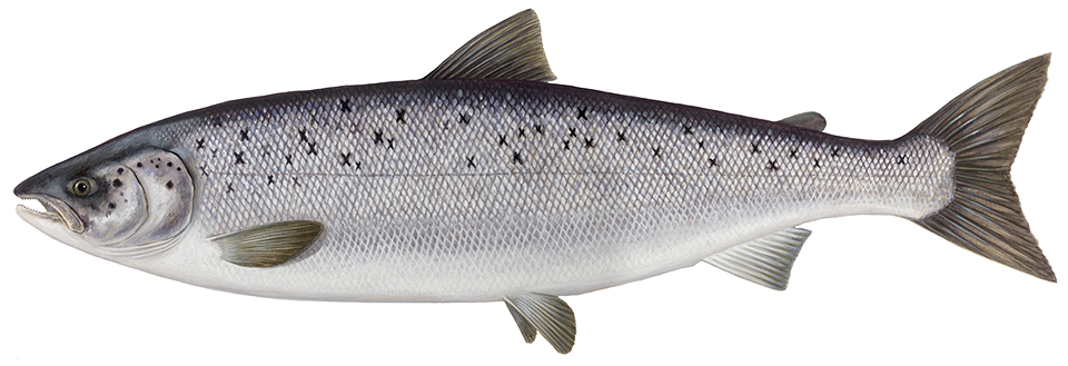 clip royalty free Salmon transparent. Png free download