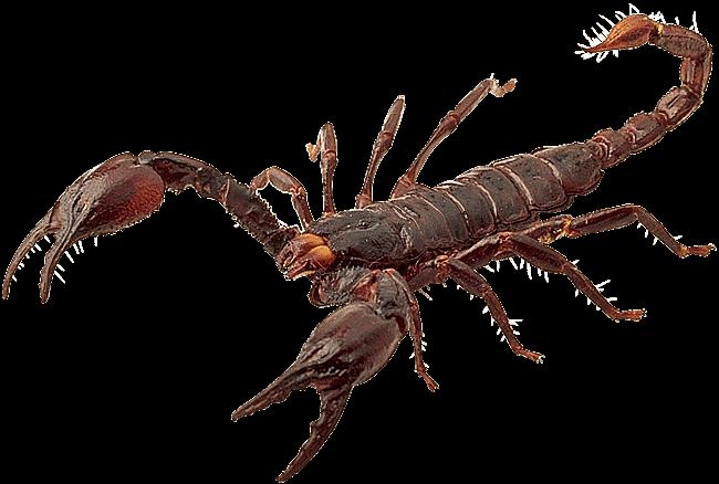 jpg transparent stock Red Scorpion transparent PNG