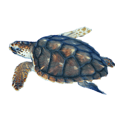 jpg library download Turtles transparent PNG images