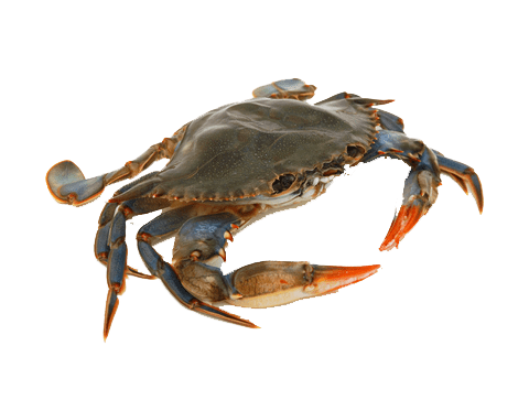 graphic black and white Crab Front transparent PNG