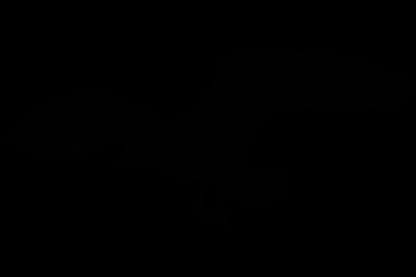 vector transparent Sea gull silhouette