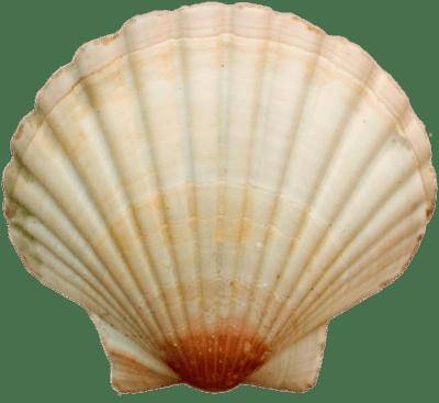 svg transparent library Sea Shell transparent PNG