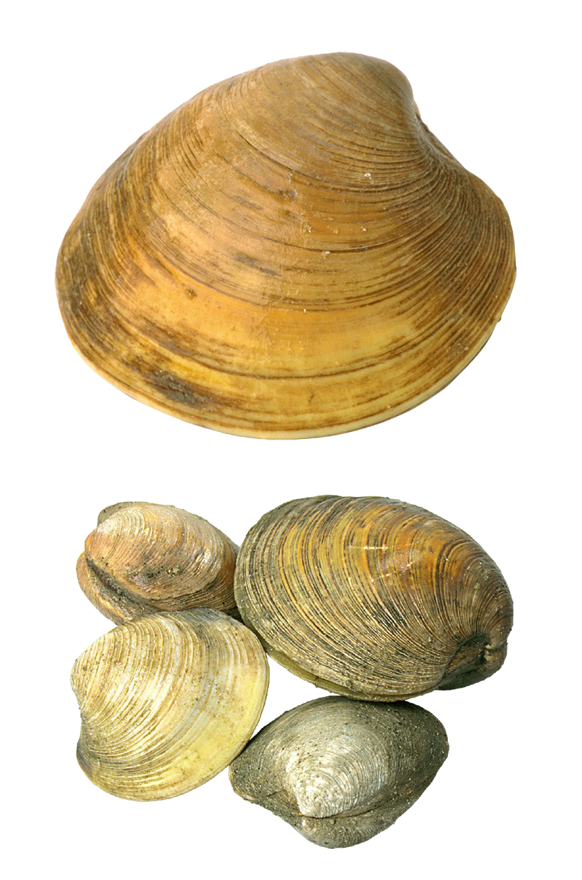 clipart free download Seashells clipart. Transparent png picture gallery.