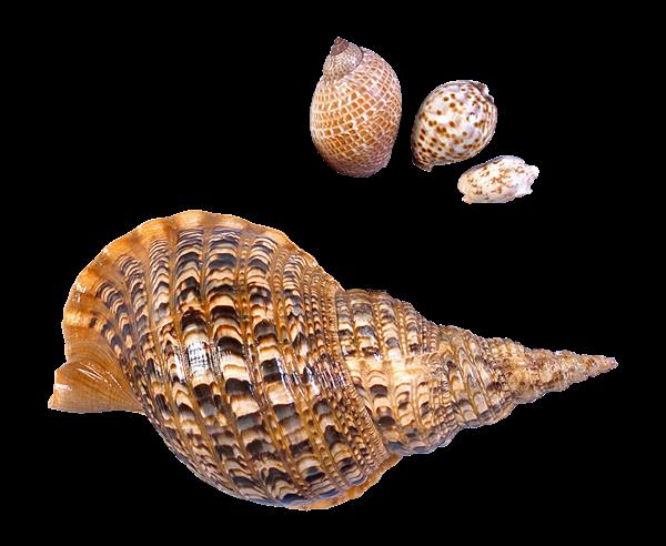 vector transparent stock Transparent Sea Snails Shells Picture