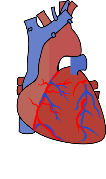 image transparent library Heart Diagram Vein Clip Art at Clker