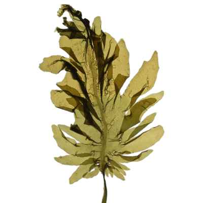 picture library stock Seaweed transparent dried. Png stickpng