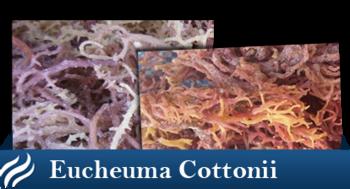 png stock Indonesia dried eucheuma cottoni. Seaweed transparent gambar