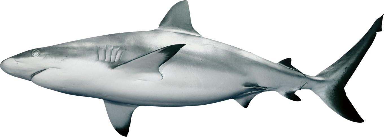jpg freeuse library Png animal pinterest. Sharks clipart bull shark