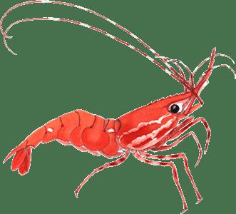 picture download Transparent png stickpng. Shrimp clipart.