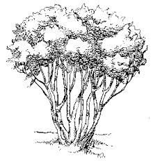 vector freeuse library Shrub drawing. Image result for plants