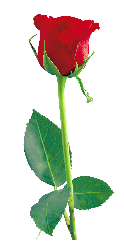 clipart transparent download Single rose clipart. Red png gallery yopriceville