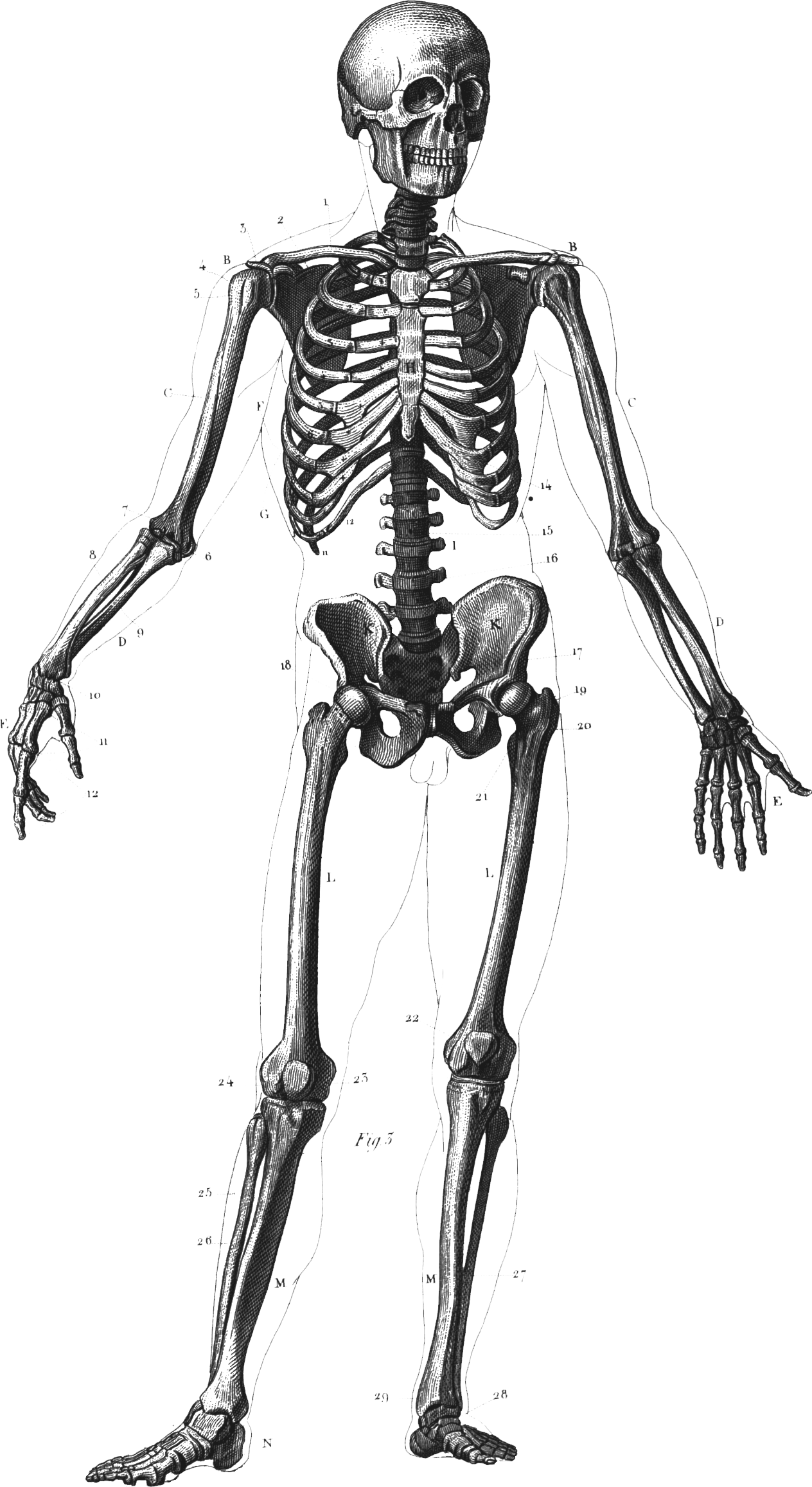 clip art free Collection of free drawing. Bone transparent full body