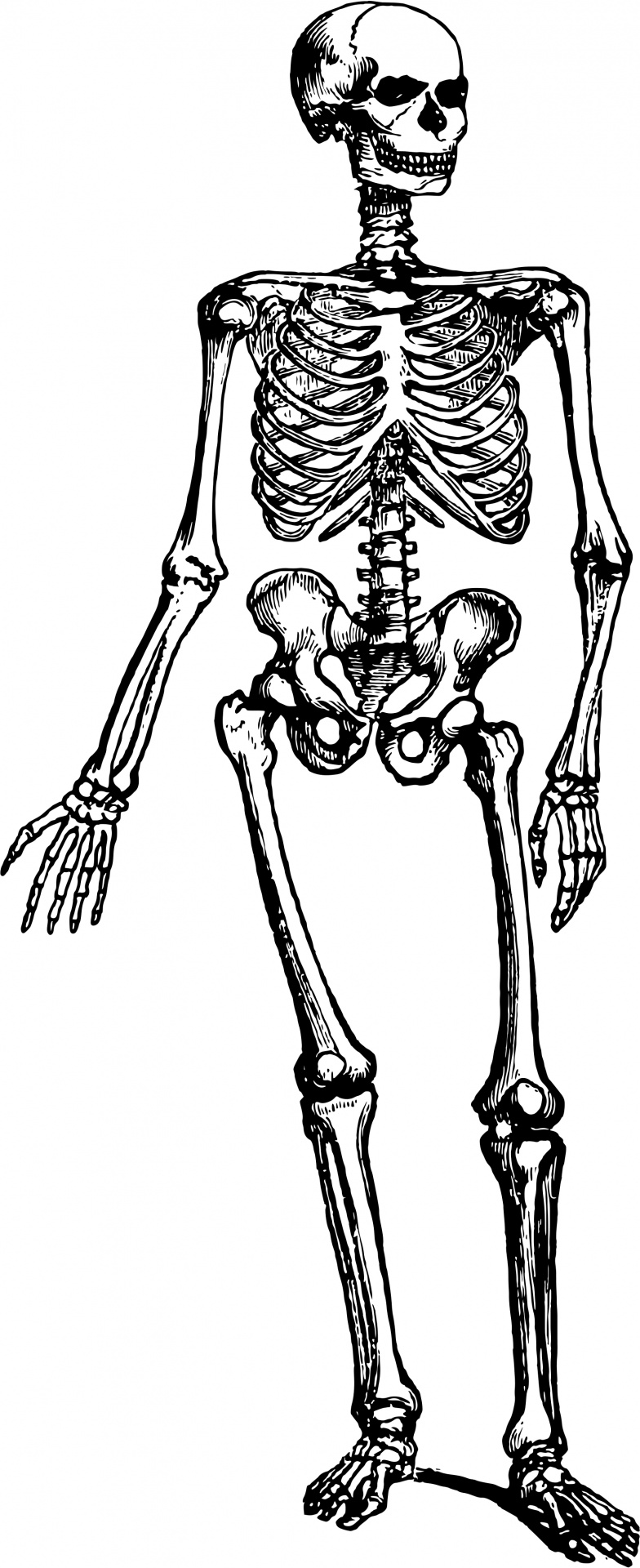 picture royalty free library Skeleton clipart black and white. Human free stock photo