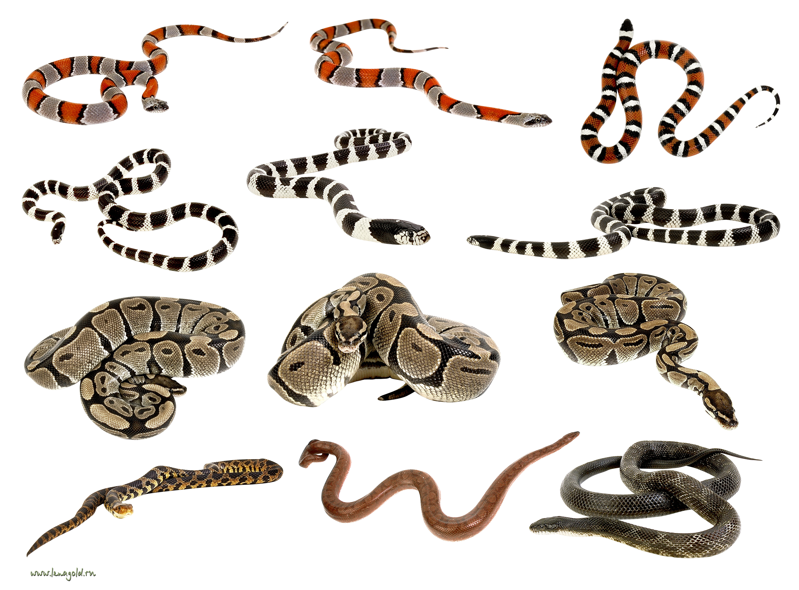 svg Snakes clipart. Png images