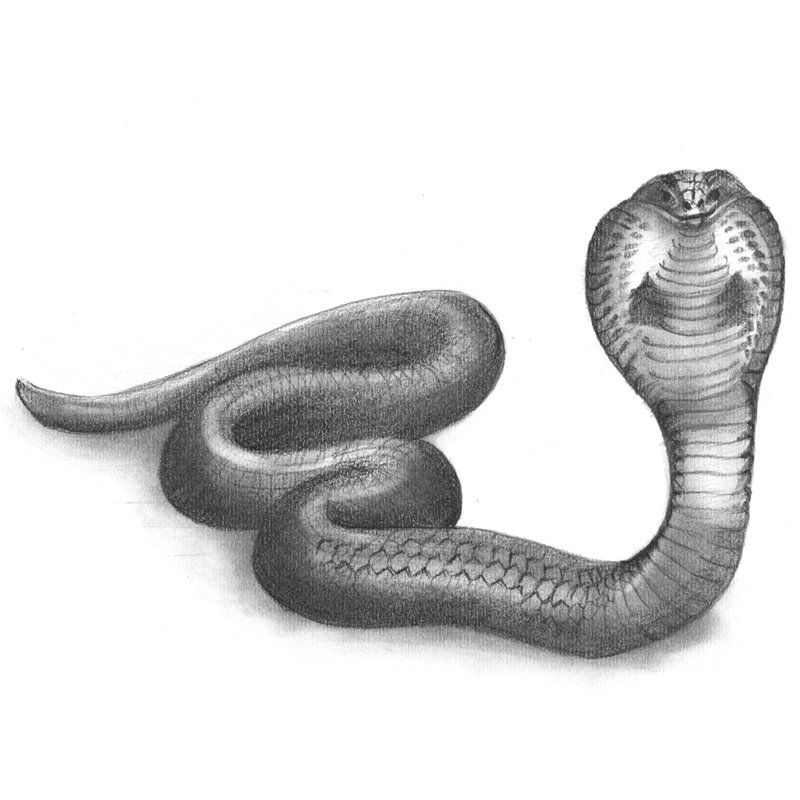 picture transparent download Drawing snake pencil. Sketch of drawings