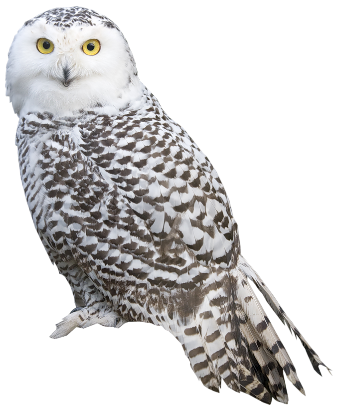 clipart free Png images free download. Drawing owls realistic