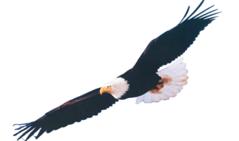 png royalty free download Soaring clipart. Eagle clip art net.