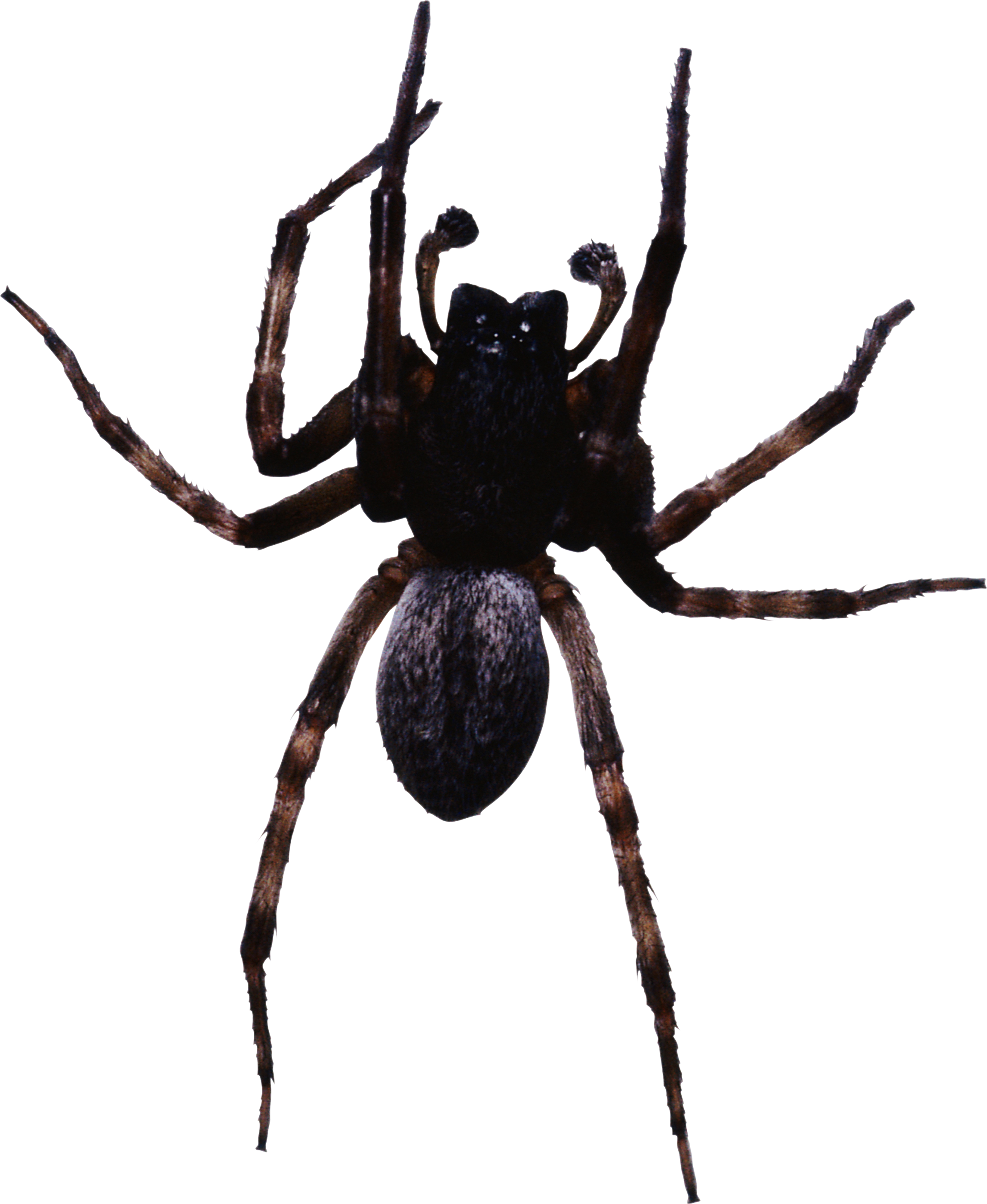 picture free library Spider PNG images
