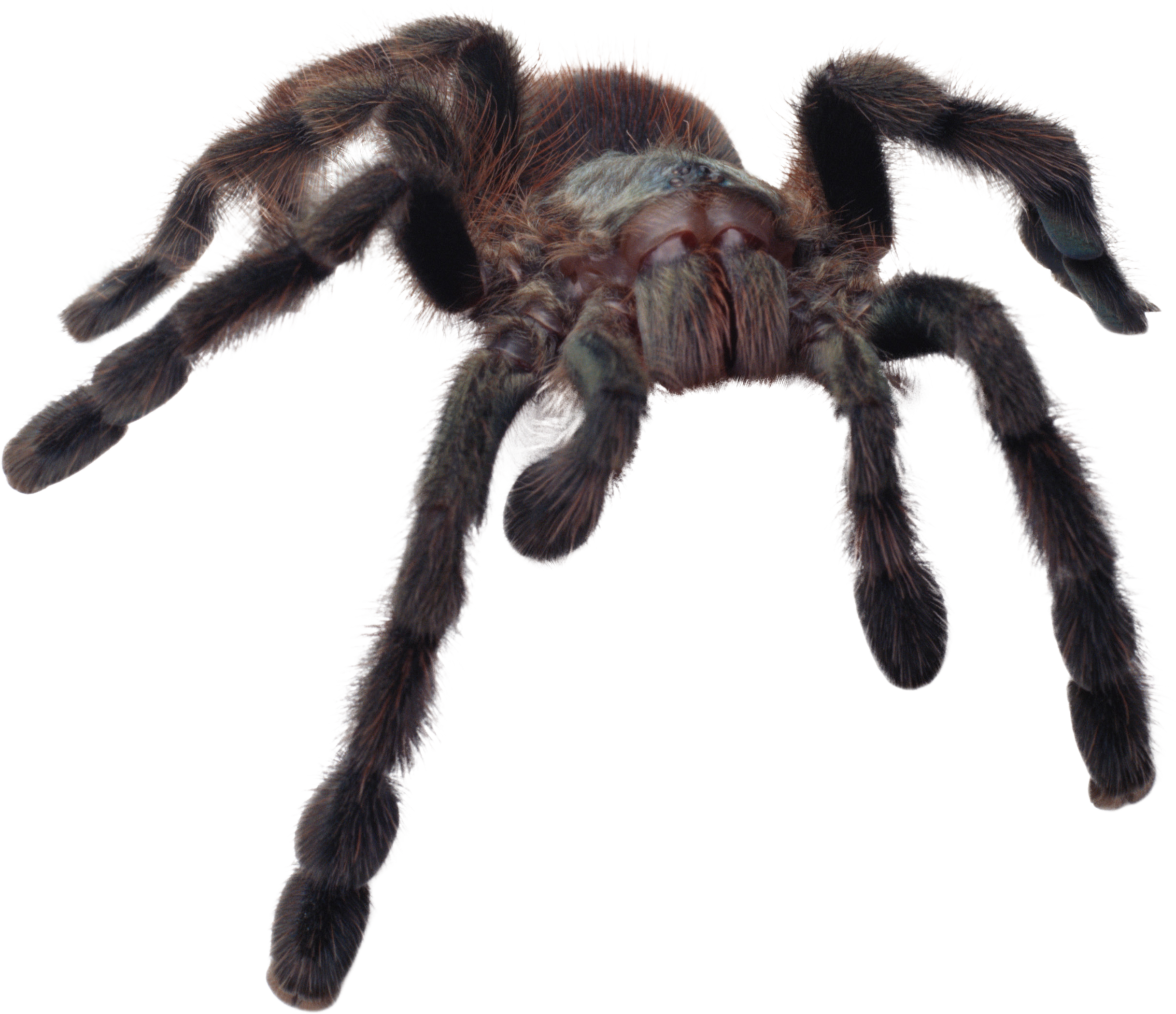 png transparent stock Spider PNG images