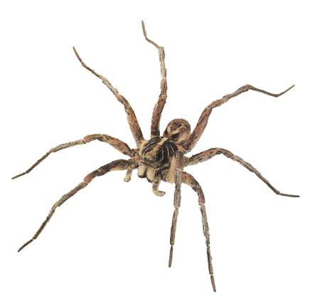 graphic royalty free Pin by narr on. Spiders clipart wolf spider