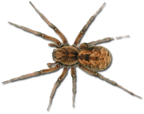 clipart black and white Spiders clipart wolf spider. Png images free download