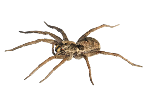 banner royalty free Png images transparent free. Spiders clipart wolf spider
