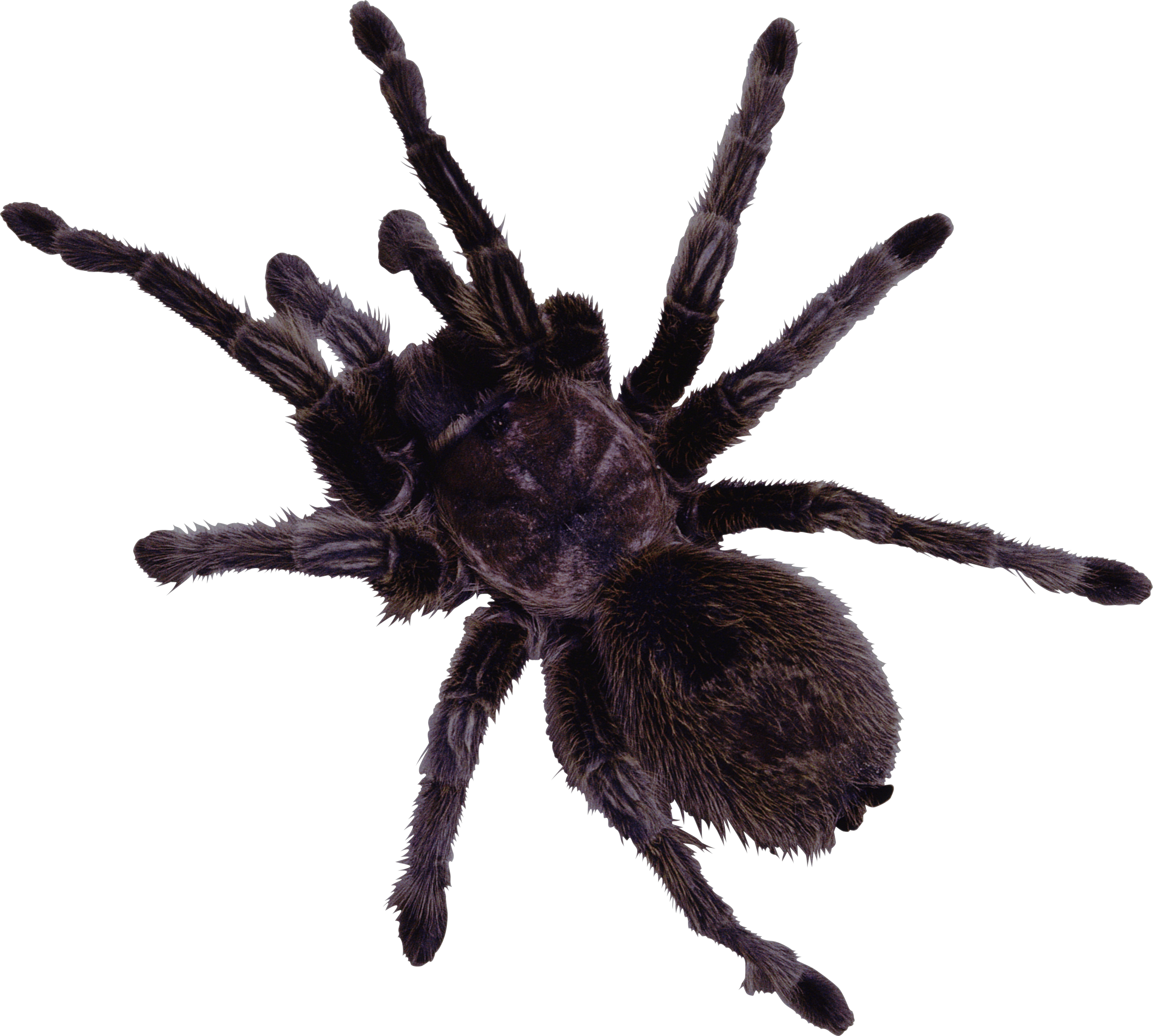 black and white Spiders clipart wolf spider. Web clip art black