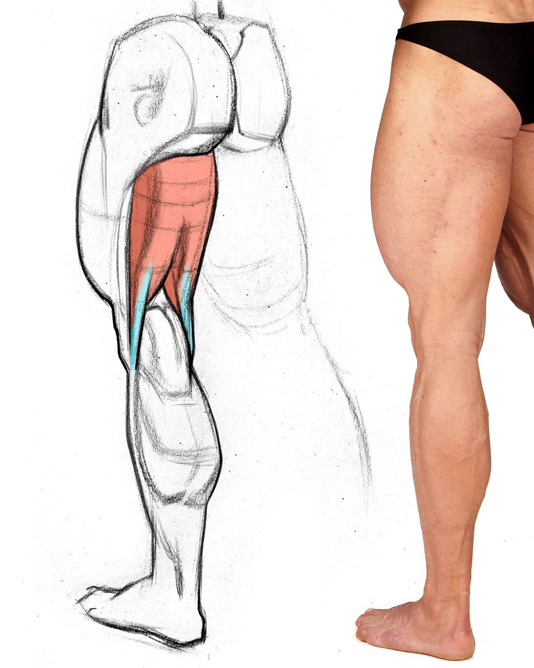 graphic transparent squat drawing muscle line #141031486