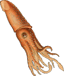 banner free Squid transparent. File png wikimedia commons.
