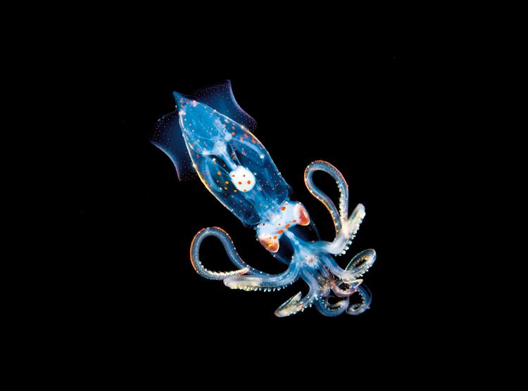 graphic freeuse stock Larval Squid