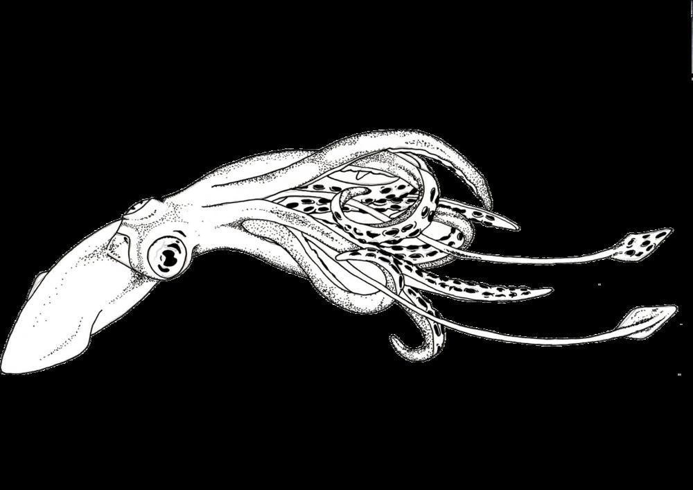 jpg squid vector sketch #103663060