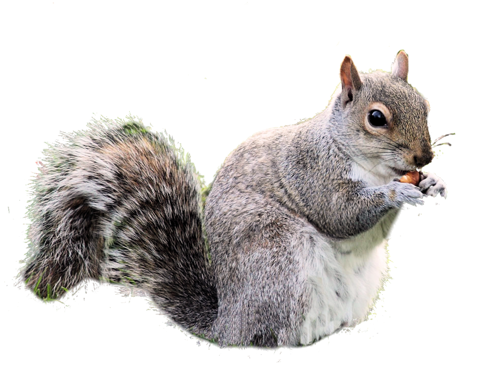 graphic free library Squirrel PNG images free download