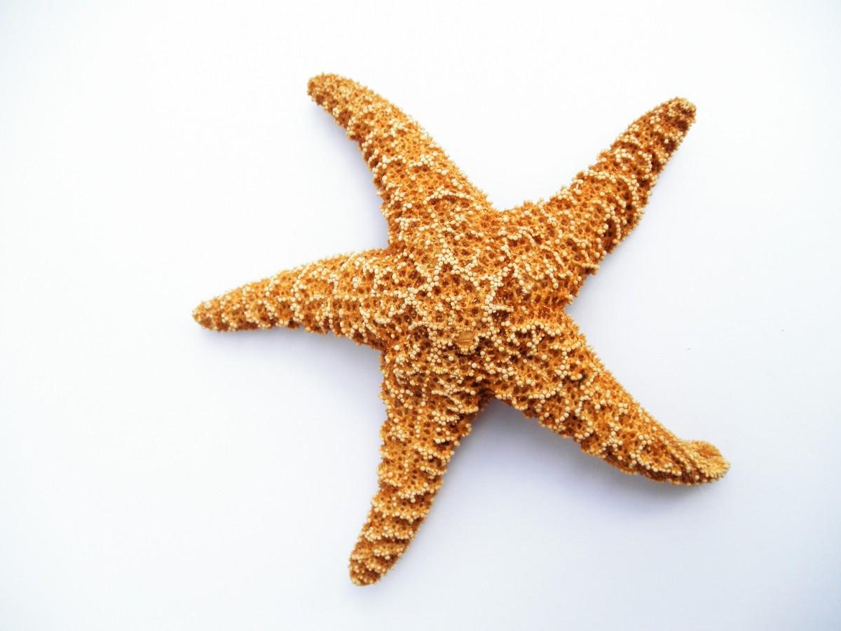 jpg stock Starfish transparent. Dried png image purepng