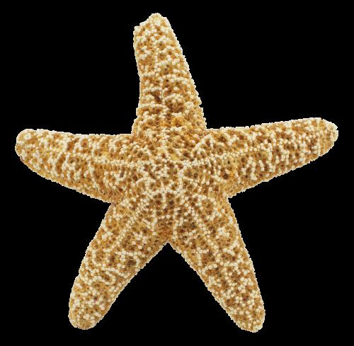 png transparent download Starfish PNG Transparent Image