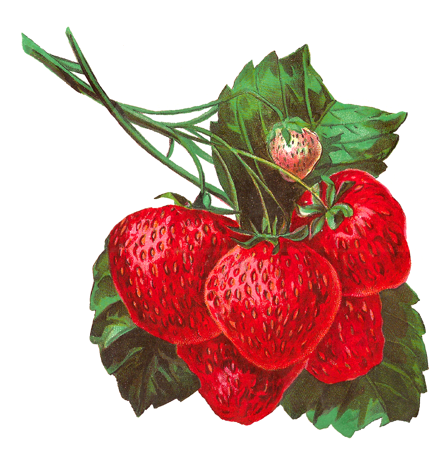vector download Strawberries clipart strawberry leave FREE for download on rpelm