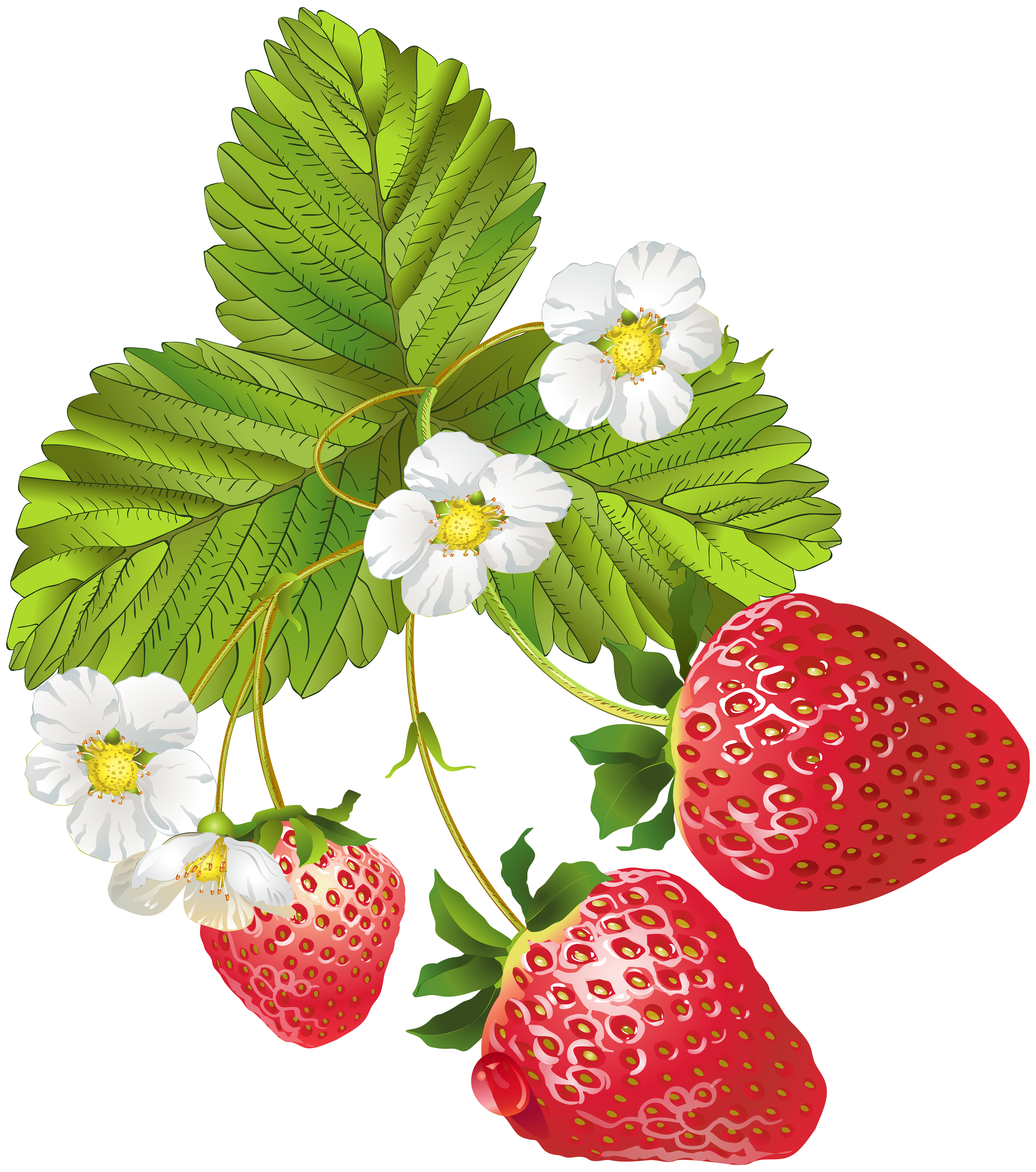 free stock Blooming png clip art. Drawing strawberries strawberry plant