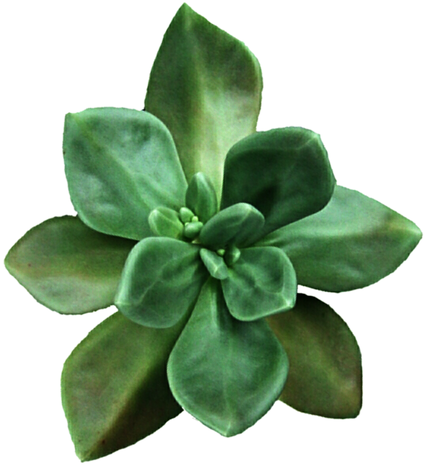 png freeuse Moss Green Succulent by jeanicebartzen