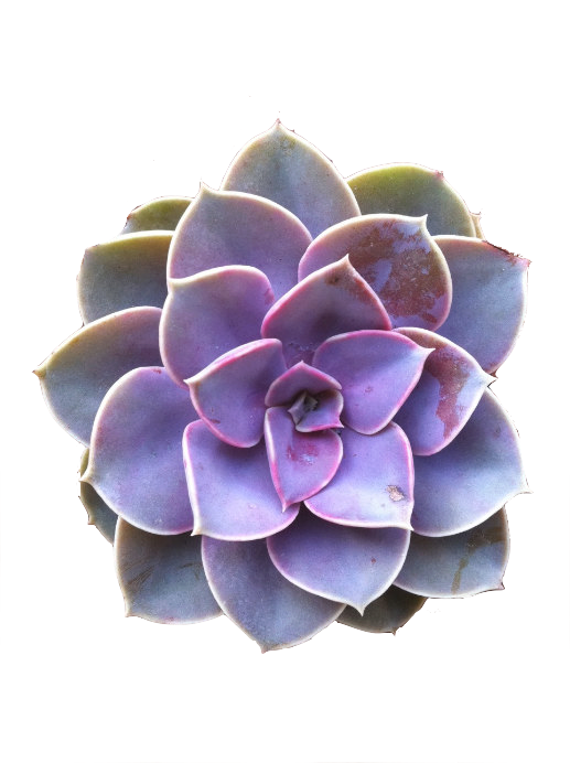svg free Another source. Succulent transparent.