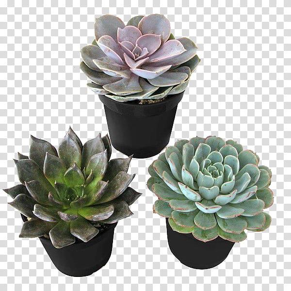 clip art download Succulent transparent. Three green plants background.