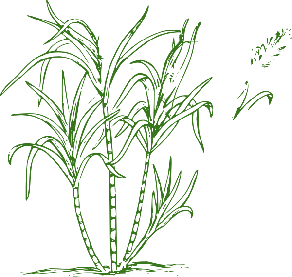 jpg transparent library Sugar Cane Drawing at GetDrawings