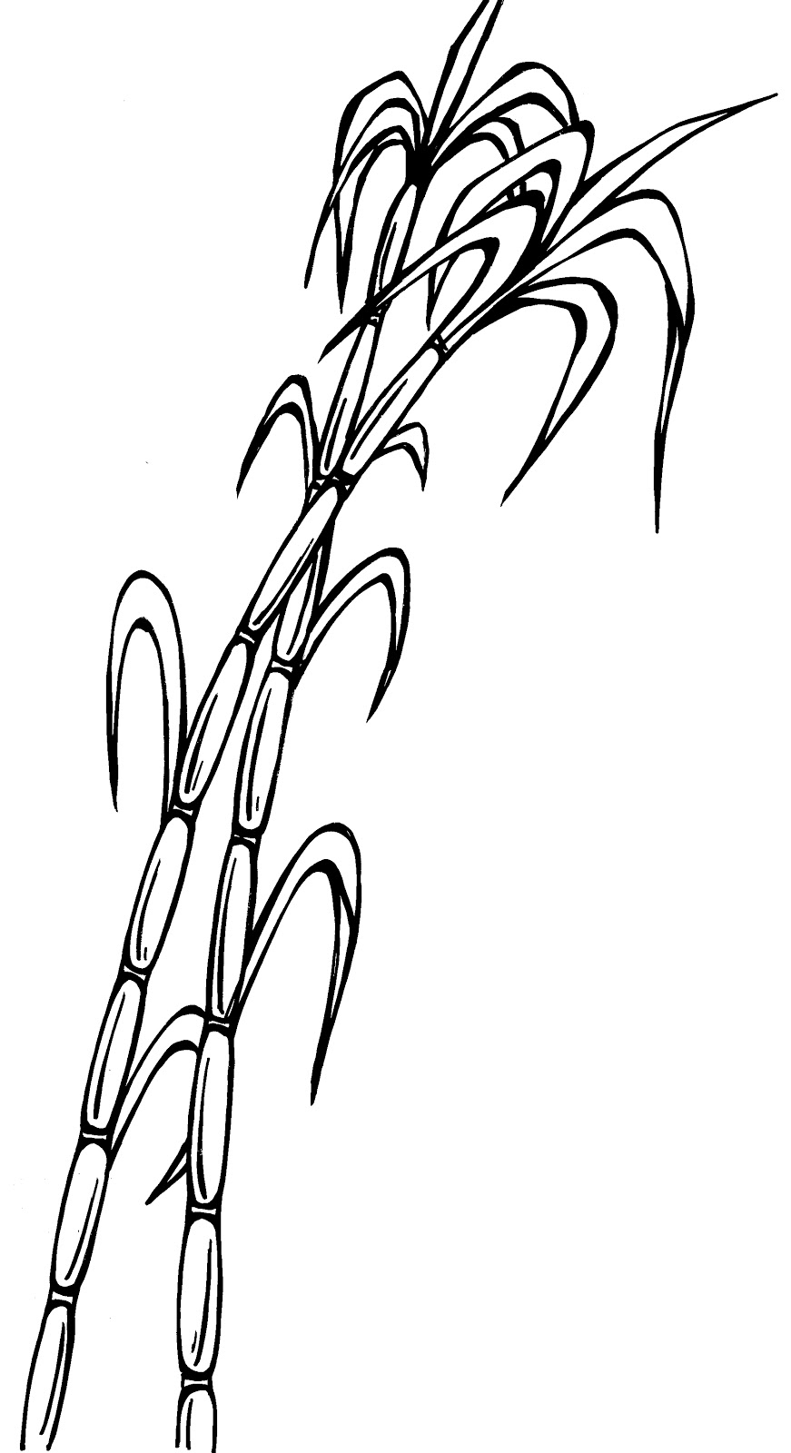 picture royalty free Sugarcane Drawing