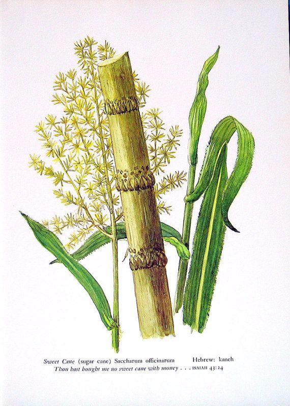 clip art black and white stock Sweet Cane Sugar Cane Plant