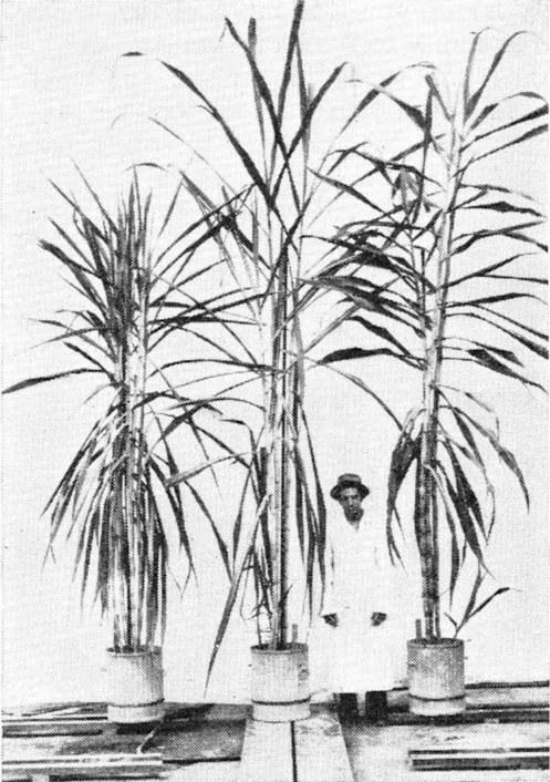 black and white download Sugarcane x Sorghum