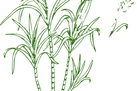 jpg free library outline image of sugarcane