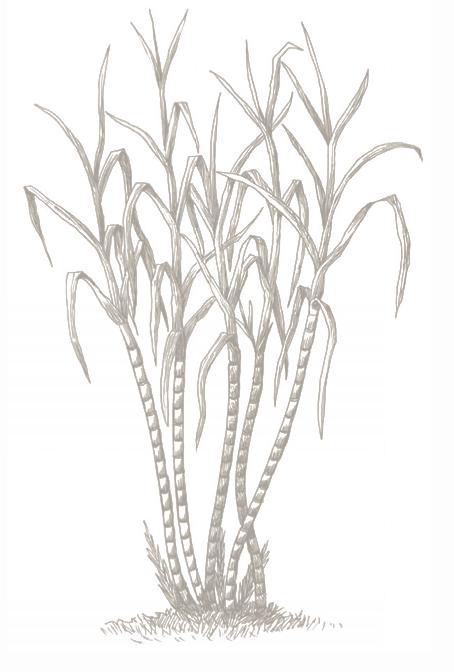 vector royalty free stock Sugarcane