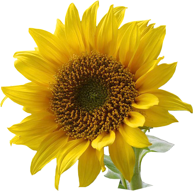 clip freeuse Sunflower clip art resolution. Sunflowers clipart swag.