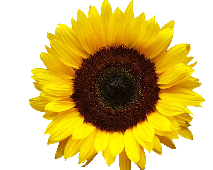 stock Shrub free on dumielauxepices. Sunflowers clipart.