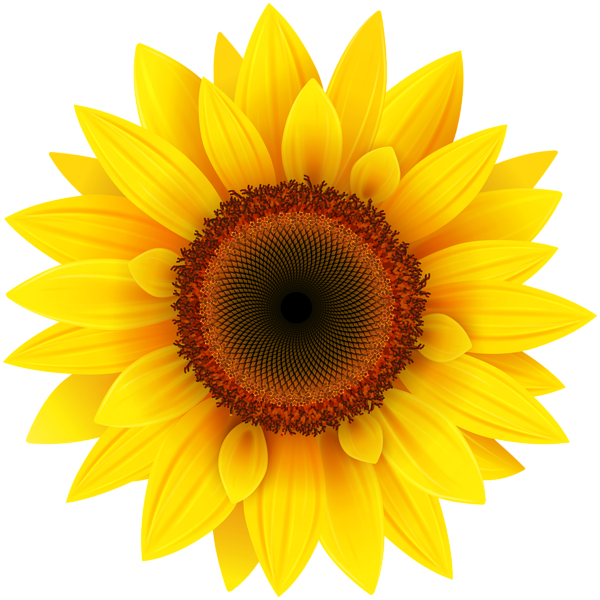 image stock Sunflower png picture pinterest. Sunflowers clipart