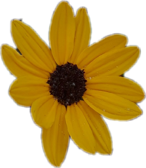 clipart library download Sunflowers clipart aesthetic. Floral sunflower flower yellowaesthetic.